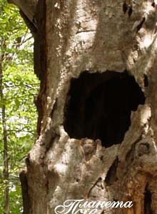 Дупло в дереве
